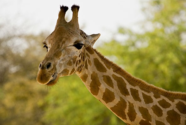 Danish zoo will not kill male giraffe Marius