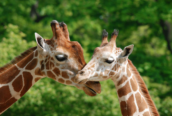 Another giraffe named Marius may be killed at another Danish zoo