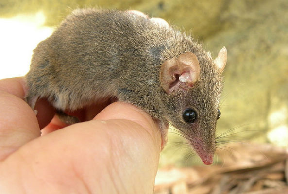 New species of sex addict marsupials found in Australia