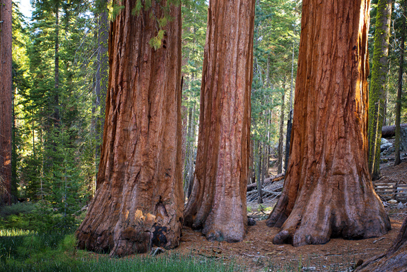 Poachers cut chunks out of redwood trees and sell the wood on the black market
