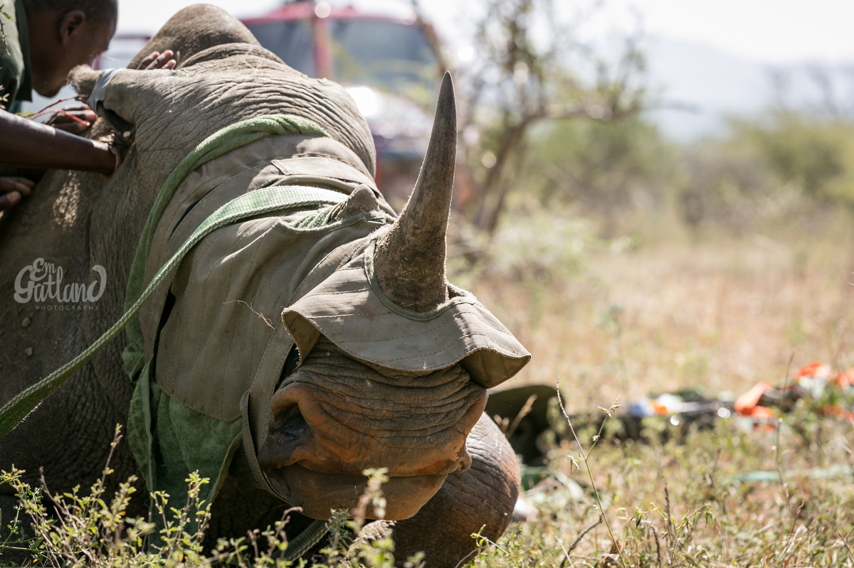 rhinos airlifted to safety