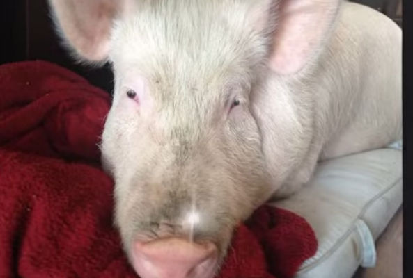 Esther the Wonder Pig is the latest celebrity to reach out to New Jersey Governor Chris Christie, asking him to ban pig gestation crates in the state.