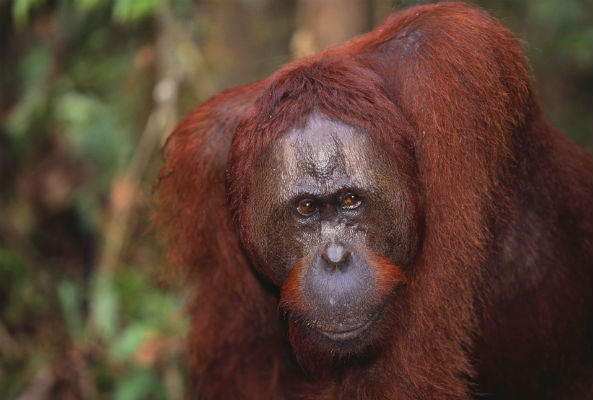 """In a landmark ruling, an orangutan named Sandra held in an Argentine zoo has been recognized as a """"non-human"""" person with basic legal rights."""