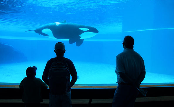 Keeping orcas captive for profit now banned in Ontario