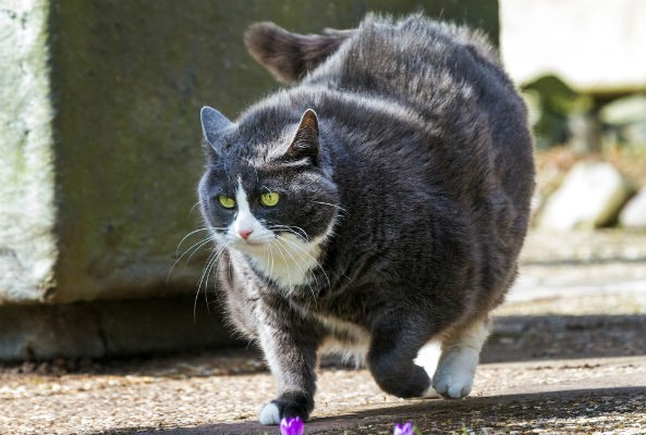 obese cats are at higher risk of diabetes