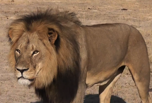 Cecil the Lion was killed earlier this month by American dentist, Walter James Palmer, who shot him with a crossbow.