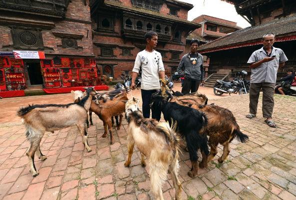 temple bans animal sacrifice at nepal festival