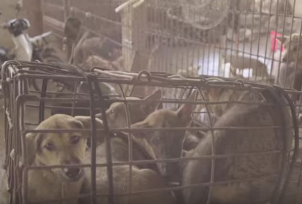 Ecorazzi spoke with Humane Society International's Adam Parascandola, who witnessed the brutality of the Yulin Dog Meat Festival first-hand.