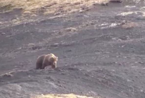 bear hunt video shows the cruel reality of trophy hunting