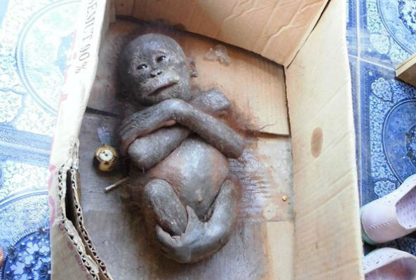 Gito, a baby orangutan, was placed in a cardboard box and left out in the sun to die in Borneo until members of the International Animal Rescue found him.