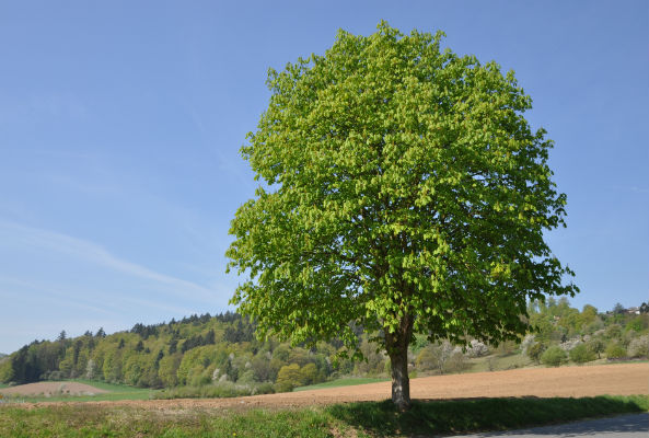 Towering Chestnut Tree Discovered in Maine Ecorazzi