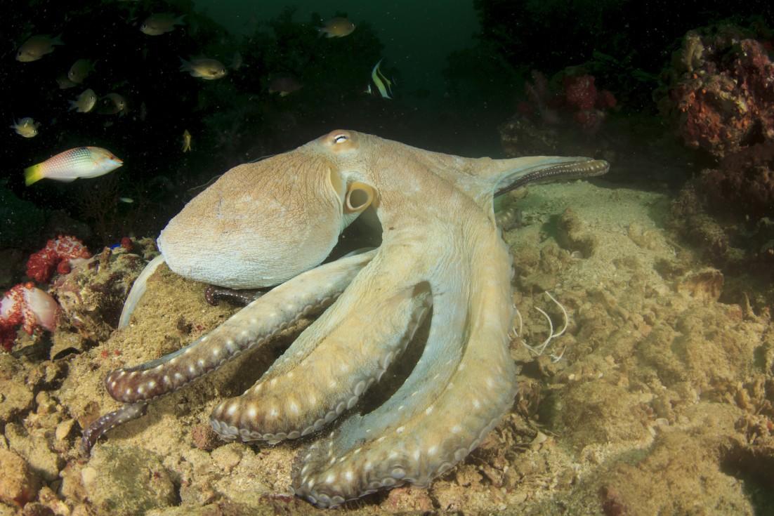 Seattle Aquarium Cancels Octopus Sex Over Cannibalism